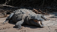 Rio Grijalva (Krokodil)