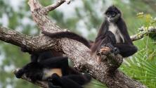 Affen im Belize-Zoo
