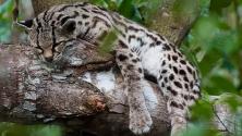 Wildkatze im Belize-Zoo