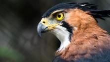 Falke im Belize-Zoo